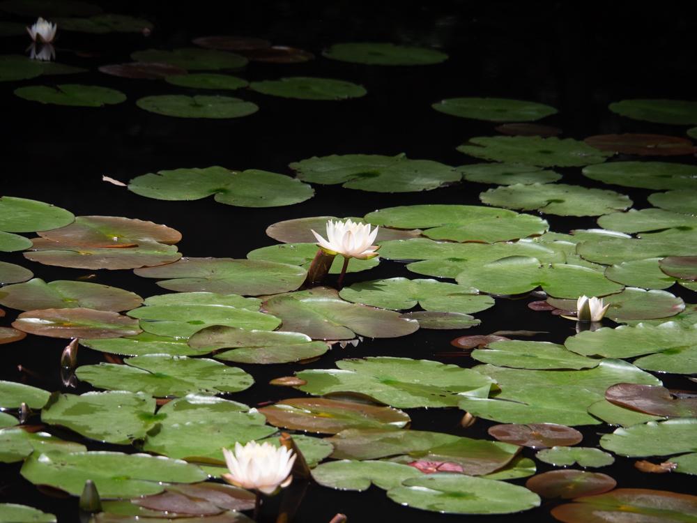 明王院:弁天池のスイレン