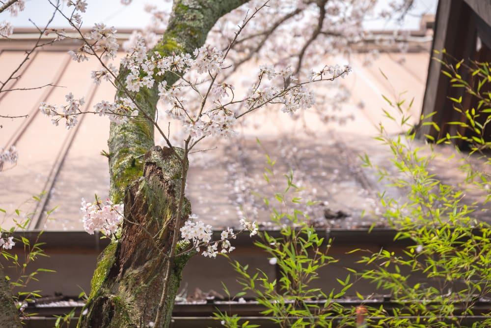 白雲大社境内の桜