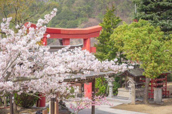 白雲大社の花まつり(令和3年3月27日) ~ 境内や参道の桜・ツツジなどの景観が心を和ませる笠岡の出雲さん