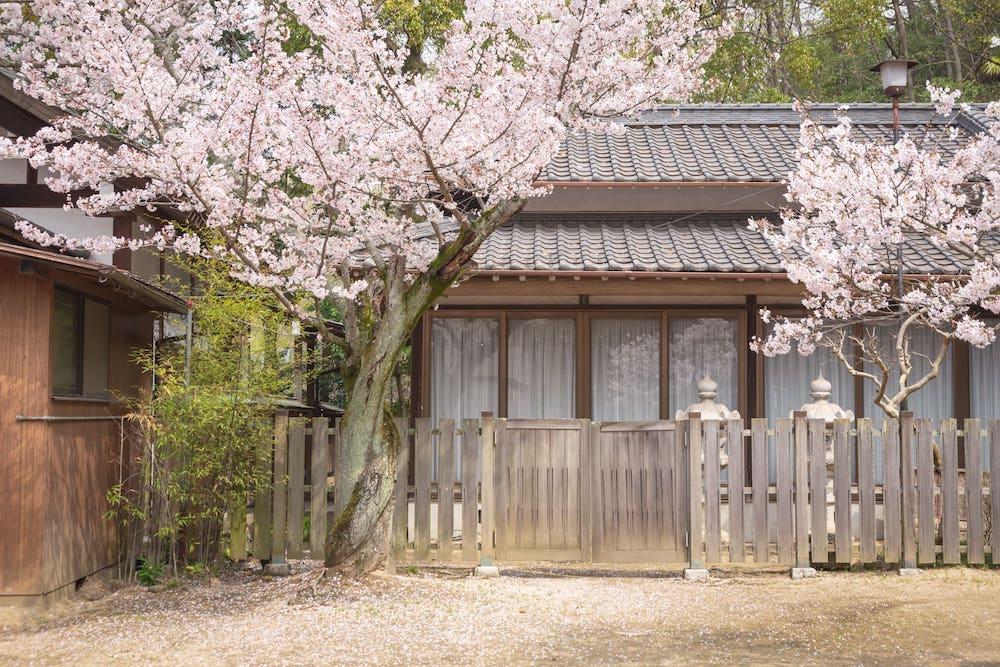 白雲大社の美保ゑびす宮の桜