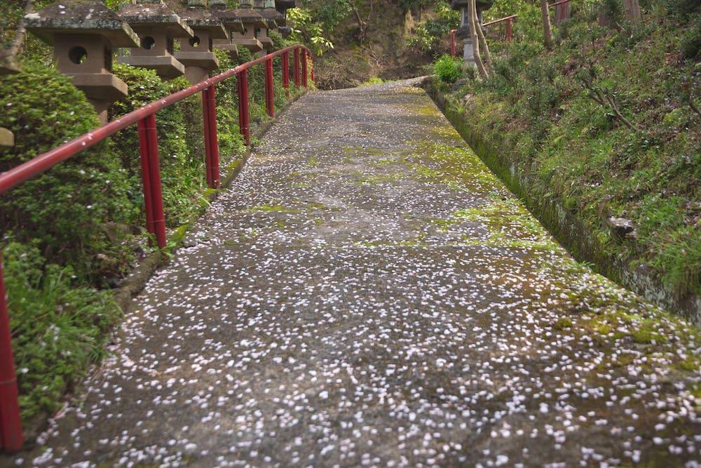 白雲大社の参道の桜