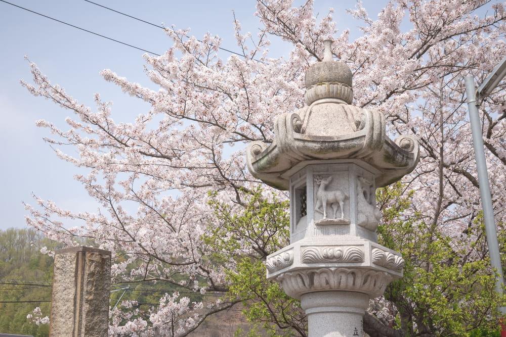 白雲大社参道の桜