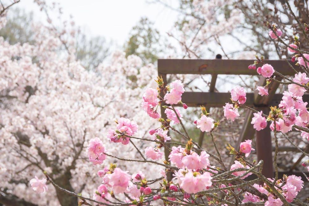 白雲大社の八重桜